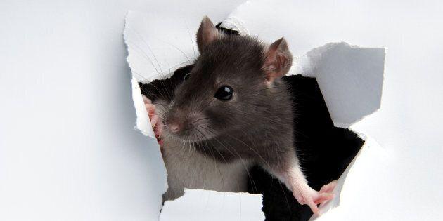 France: des rats attaquent une jeune paraplégique dans son