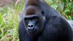 Un zoo tue son gorille après la chute d'un enfant dans