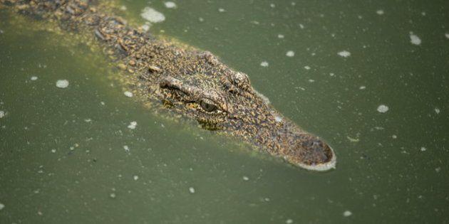 A Cuban crocodile (Crocodylus rhombifer) is seen in a hatchery at Zapata Swamp National Park, June 4,...