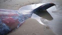 Une baleine morte retrouvée sur une plage de