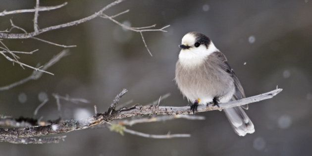 Gray Jay, Perisoreus canadensis, with leg band, perched on Spruce tree during snow fall in winter. Algonquin...