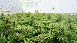 La légalisation du cannabis inquiète les