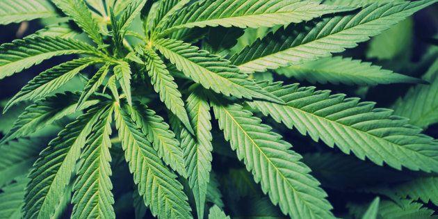 Cannabis médical: une tournée d'information face aux inquiétudes des