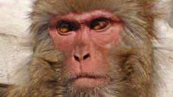 Des singes retrouvent le contrôle de leurs membres