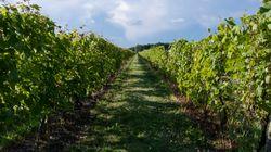 Le temps chaud de septembre fouette les productions dans les vignobles du