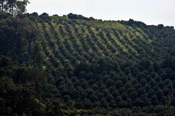 Au Mexique, des forêts dévastées par la «fièvre verte» de l'avocat