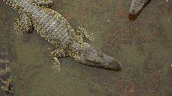 Attaqué par un crocodile dans leur piscine au Zimbabwe, ce couple s'est fait une peur