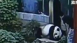 On ne réveille pas un panda géant