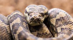 Enfants tués par un python: début du