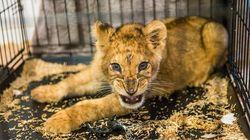 Un lionceau retrouvé dans un