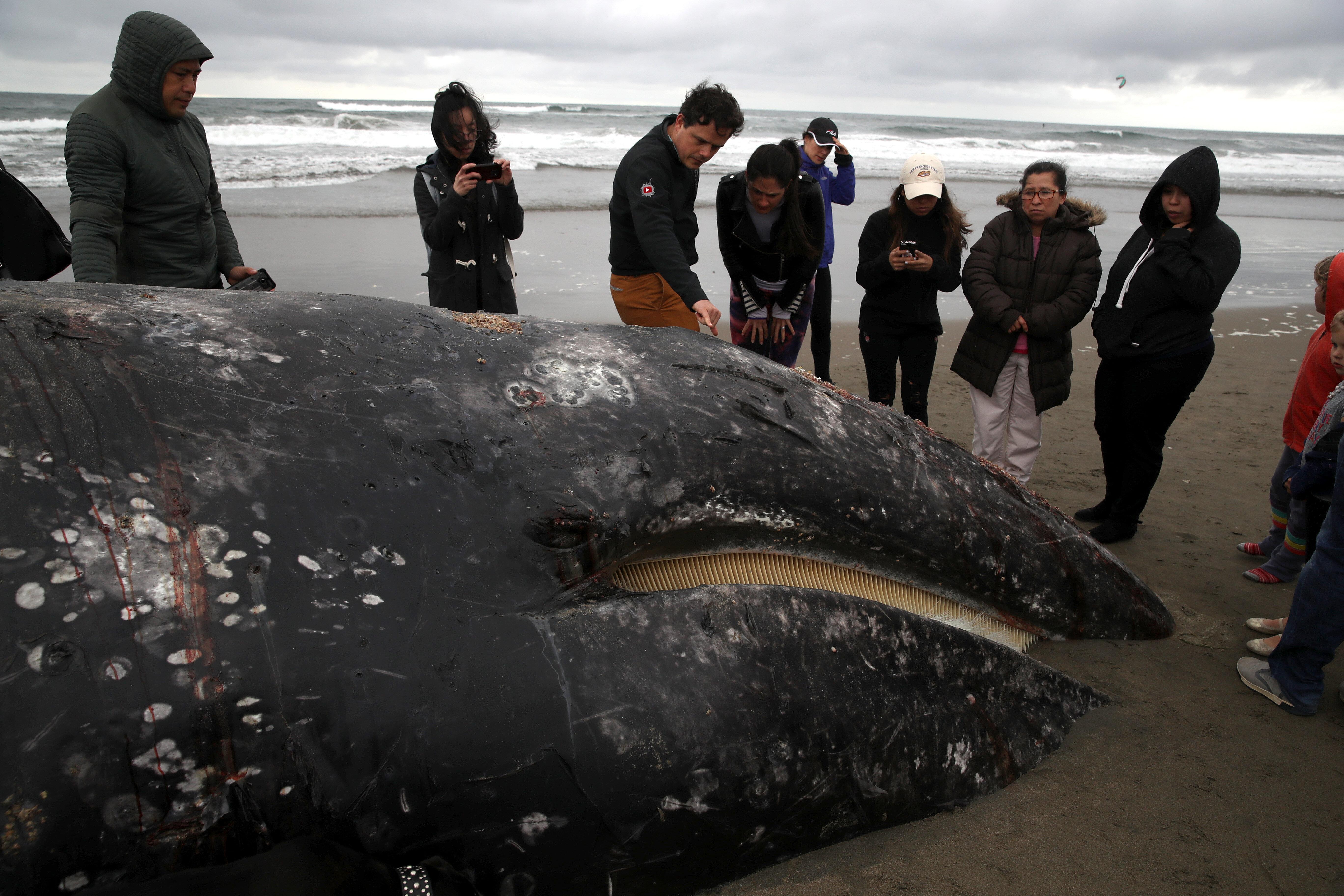 샌프란시스코에서 고래 사체가 발견되었다.