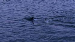 Six dauphins rescapés d'une baie peu profonde du Nouveau