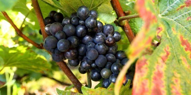 A pinot noir grape is pictured at a vineyard in Hautvillers, on September 22, 2016. / AFP / FRANCOIS...