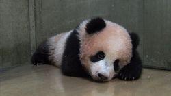 Le bébé panda de Tokyo a fêté ses 150