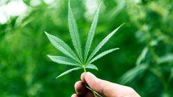 BLOGUE Les bienfaits thérapeutiques du cannabis restent à confirmer pour bon nombre de