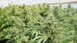 La légalisation du cannabis, casse-tête des