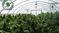 L'UPA évalue les retombées économiques de la production du cannabis à 700