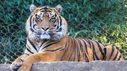 Un tigre s'échappe d'un cirque à