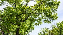 4 M$ pour ajouter des arbres sur les artères