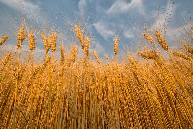 Un champ de blé à Val Marie en