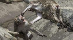 Un combat de primates