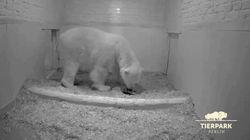 Un ourson polaire est né dans un zoo de