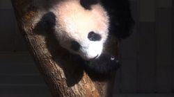 Un zoo de Tokyo présente son bébé panda de 6