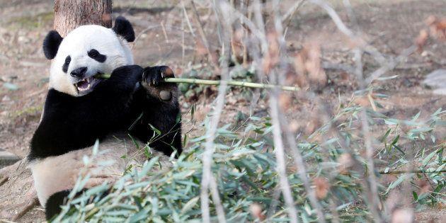Le caca du panda recyclé en papier de toilette, mouchoirs et des nappes en