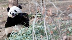 Le caca du panda recyclé en papier de