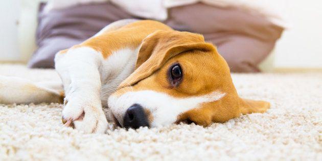 Hausse du nombre de chiens rendus malades par le