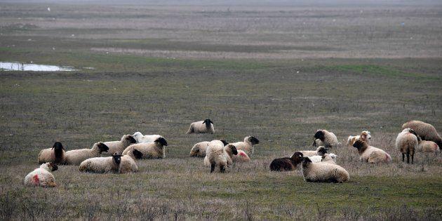 Les moutons réfractaires du village de