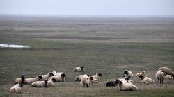 Des moutons roumains embêtent des militaires