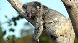 Les Australiens indignés par la découverte d'un koala vissé à un