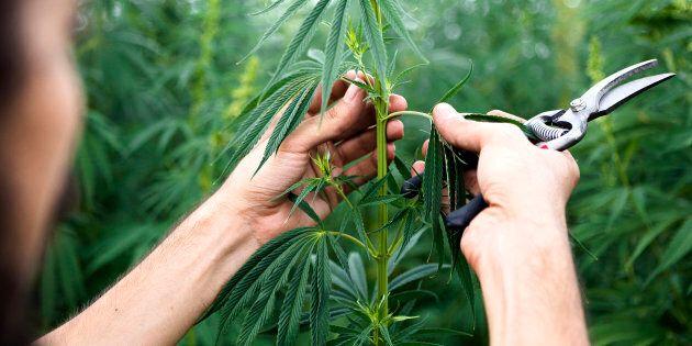 Cannabis: Pharmaprix a trouvé son