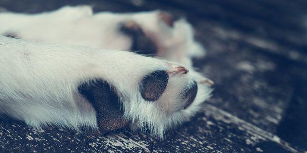 Grippe canine: le virus H3N2 détecté chez cinq autres chiens en