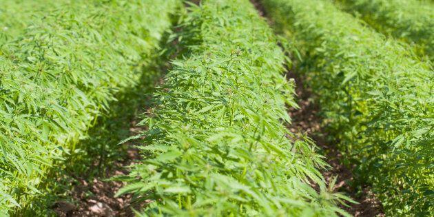 Cannabis: six producteurs fourniront au moins 62 000 kilos à la