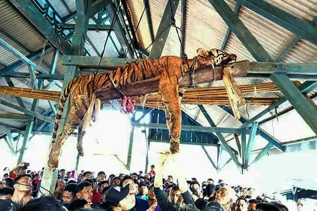 Un tigre de Sumatra éventré par des villageois en