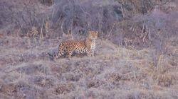La vidéo rare d'un léopard