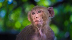 Un bébé enlevé par un singe retrouvé