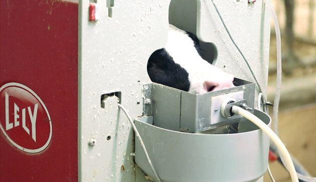 La «louve à veaux», un système automatisé d'alimentation