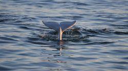 Les baleines menacées par la fonte de