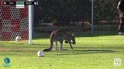 Ce kangourou est aussi fan de soccer que