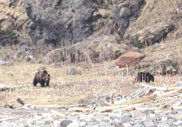 知床半島のルシャ湾で撮影したヒグマの親子(4月28日)