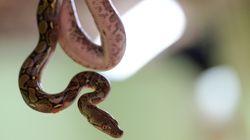 Les serpents vivent en liberté chez