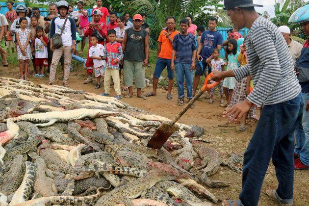 Indonésie: près de 300 crocodiles tués par