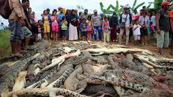 Près de 300 crocodiles tués par