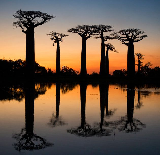 Des baobabs à