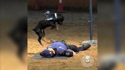Poncho, le chien policier spécialiste des massages