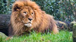 Pris au milieu d'un groupe de lions, des braconniers sont