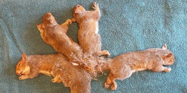 5 bébés écureuils vulnérables et attachés par la queue sont